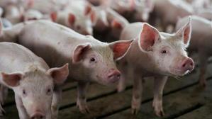 Detecta China brote de peste porcina africana