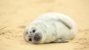 Encuentran más de 7 mil focas muertas en playas de Namibia