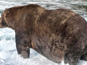 Gana oso corona como el más gordito de Alaska