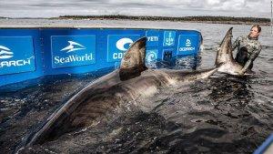 Encuentran en Canadá, enorme tiburón blanco