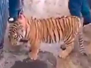 Buscan a Tigre de Bengala que salió a pasear