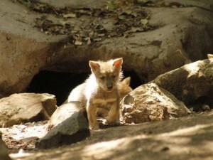 Nacen cinco lobos mexicanos en zoológico de Chapultepec