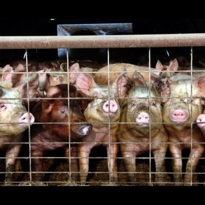 cerdos-puercos.jpg