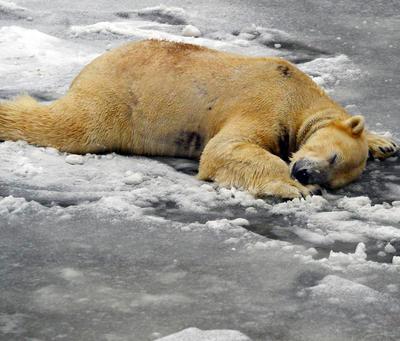 Osos polares son los más afectados por los efectos del calentamiento global