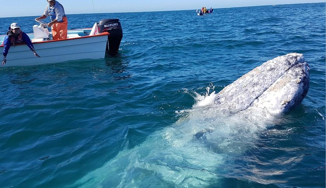 Ballena gris visita la laguna Ojo de Liebre; los cetáceos llegan a Baja California para dar a luz criar a sus hijos