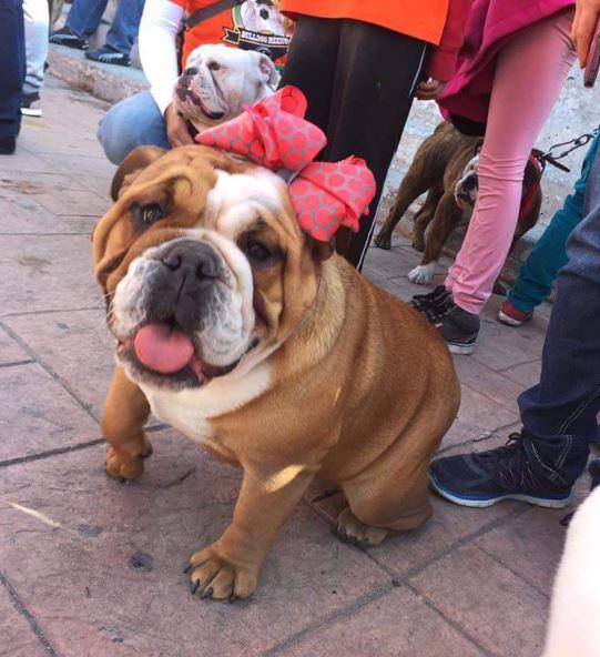 Los perros de entre 30 y 40 kilos y cara achatada caminaron lentamente con sus dueños (Twitter/@tasconitzala)