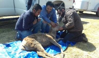 Decomisan tres ejemplares de ciervos rojos en Huichapan, Hidalgo. (Profepa)