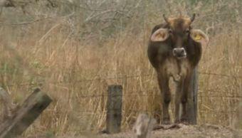 Estiaje afecta al ganado en Veracruz (Noticieros Televisa)