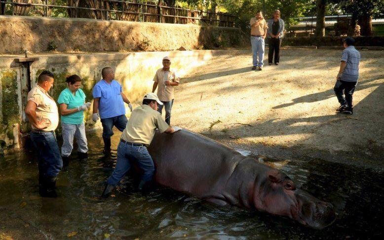 """Un grupo de desconocidos agredió en el Zoológico Nacional de El Salvador al hipopótamo """"Gustavito"""", que se encuentra delicado y con pronóstico reservado. (@FCristales)"""