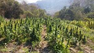 Incineran más de 100 mil plantas de marihuana en Jalisco (Noticieros Televisa)