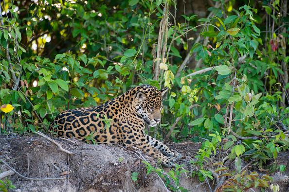 Jaguar en la ribera de un río en Brasil; la especie se encuentra en mayor peligro de extinción a lo estimado