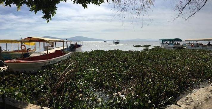 Lirio acuático afecta Laguna de Yuriria en Guanajuato