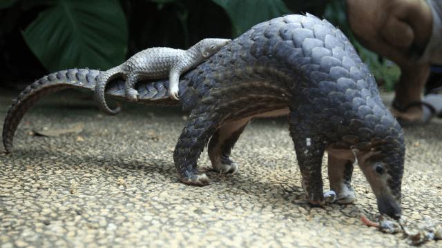 Mamífero pangolín con su cría; este animal está en peligro de extinción y sin embargo sigue siendo cazado para comerlo. (AP, archivo)