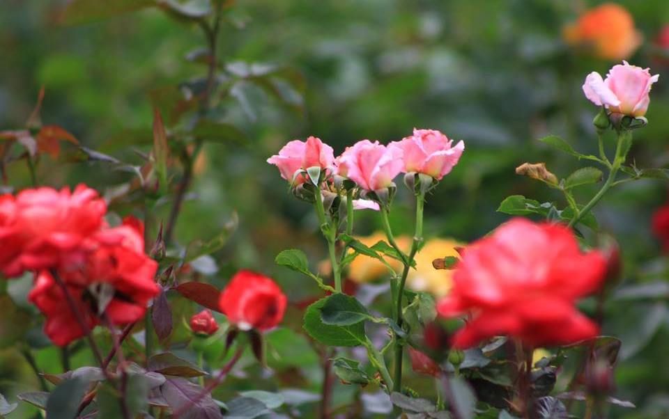 Rosas de Atlixco, Puebla; las más demandadas en febrero. (Facebook Atlixco Travel)