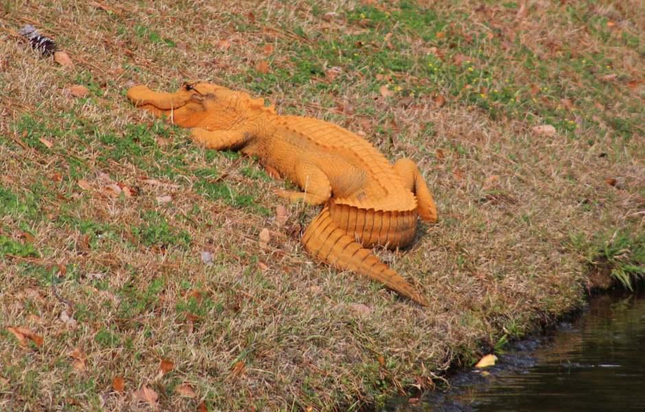 La gente ha visto varias veces al caimán anaranjado que mide alrededor de metro y medio en el estanque en Hanahan. (AP)