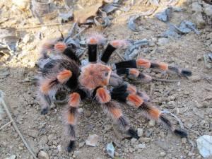 La tarántula conocida como 'rodillas rojas', es una especie originaria del municipio de Coyuca de Benítez.