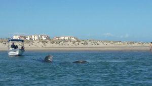 Tiburón ballena es regresado a su hábitat; personal de la Profepa rescata al ejemplar, que se encontraba varado en una bahía de Baja California Sur