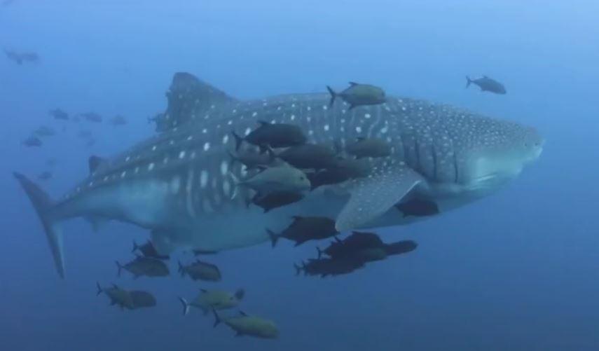 Tiburón que habita en las Islas Revillagigedo de México (Noticieros Televisa)
