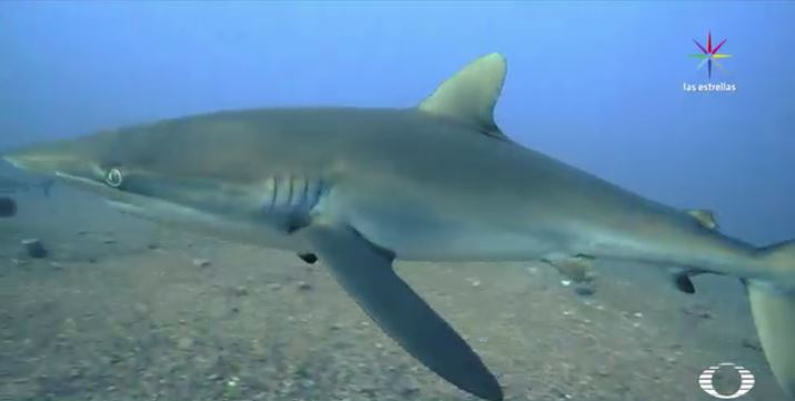 Un tiburón galápagos, en la boca tiene atorado una especie de anzuelo. (Noticieros Televisa)
