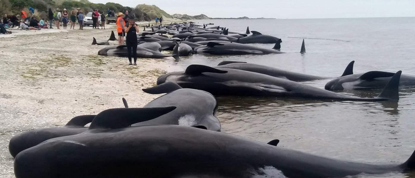 Unos 300 voluntarios trabajaron para salvar a cientos de ballenas varadas en una playa de Nueva Zelanda.