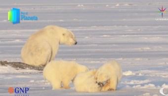 Cachorros de oso polar juegan mientras su madre los observa. (Noticieros Televisa)