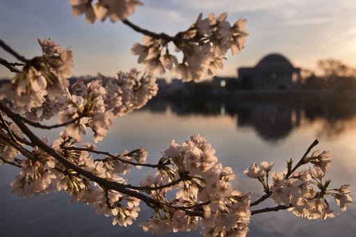 Los cerezos han entrado en su período máximo de floración para este año (AP)
