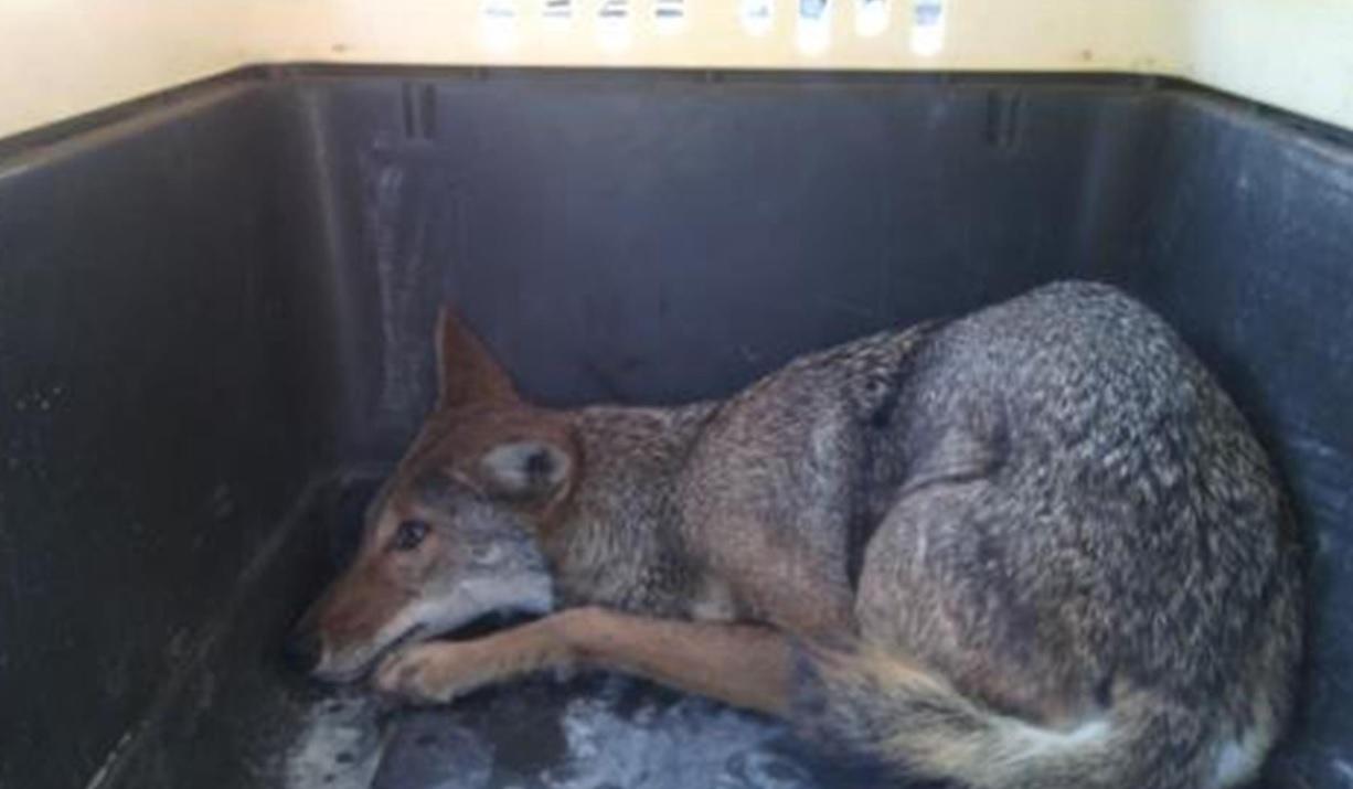 Personal de Profepa y de Protección Civil de Cd. Victoria rescataron a un cayote que cayó a una alcantarilla en el libramiento Ciudad Victoria-Soto La Marina. (Twitter: @PROFEPA_Mx)