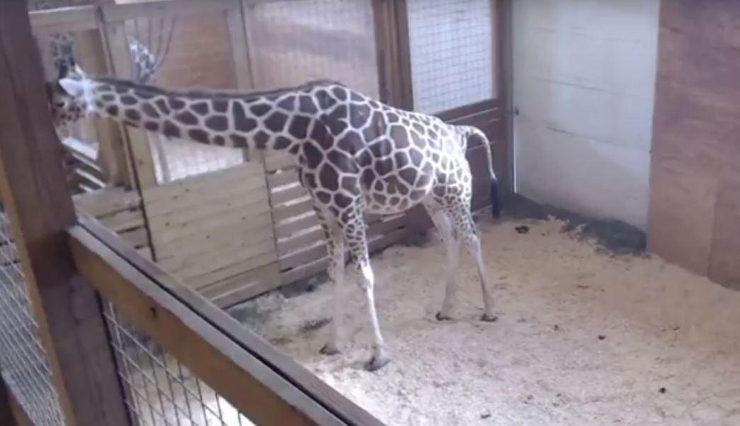 La retransmisión en vivo del embarazo de April, que comenzó el pasado 10 de febrero, se propagó rápidamente por la red (Animal Adventure Park)