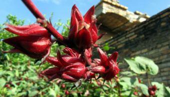 Descubren en la Universidad de Hidalgo propiedades desinfectantes en la flor de jamaica