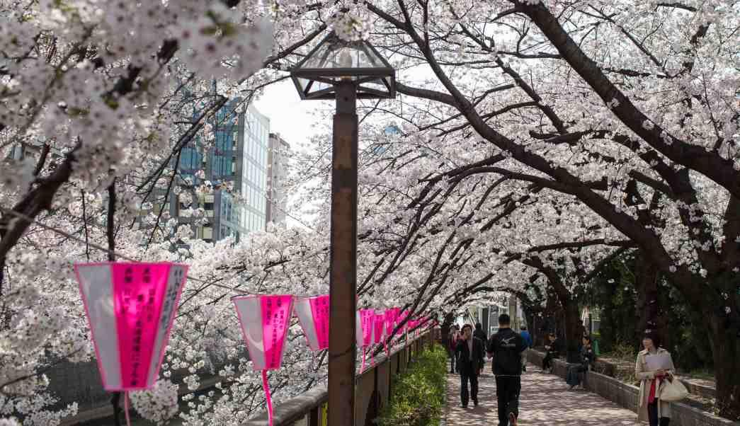 Flores de cerezo, cerezos, sakuras, hanami
