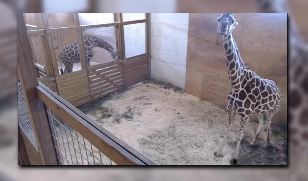 Video que se transmite en vivo de una jirafa en zoológico de Nueva York (YouTube- Animal Adventure Park Giraffe Cam)