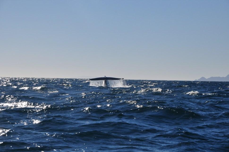 La ballena azul es el animal más grande del planeta. (Conanp)