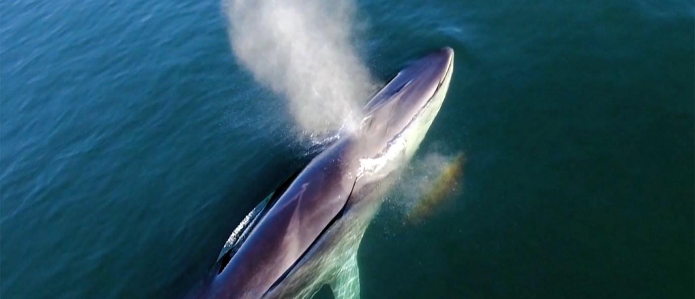 La ballena azul llega cada invierno al Mar de Cortés. (Conanp)