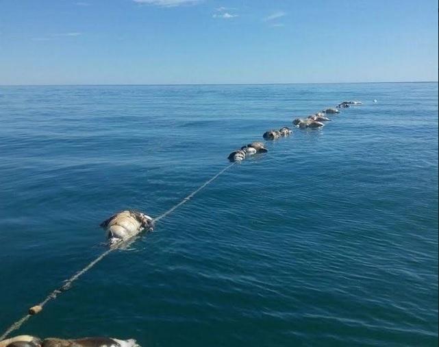 Los 22 lobos marinos y dos tiburones espina murieron en redes de enmalle. (Semarnat y Profepa)