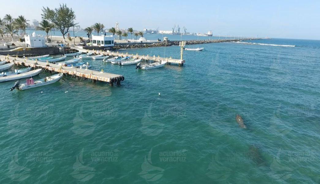 Manatí nada cerca del muelle de pescadores de Veracruz (Acuario de Veracruz)