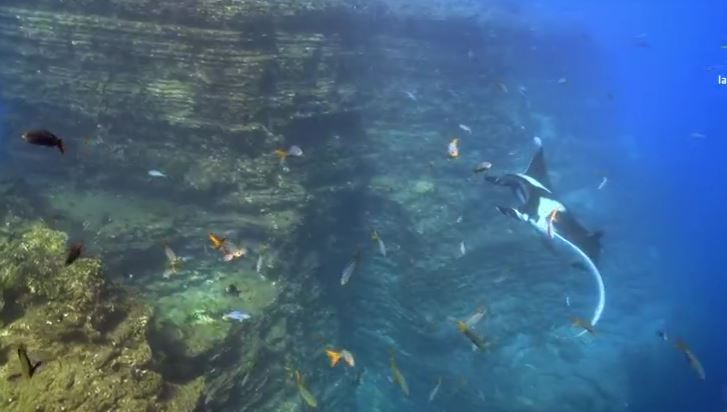 Mantarraya en Islas Revillagigedo (Noticieros Televisa)