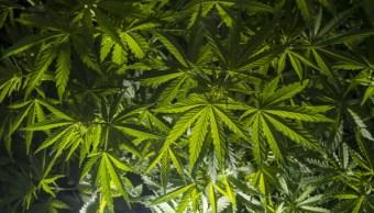 Plantas de marihuana Getty Images, archivo