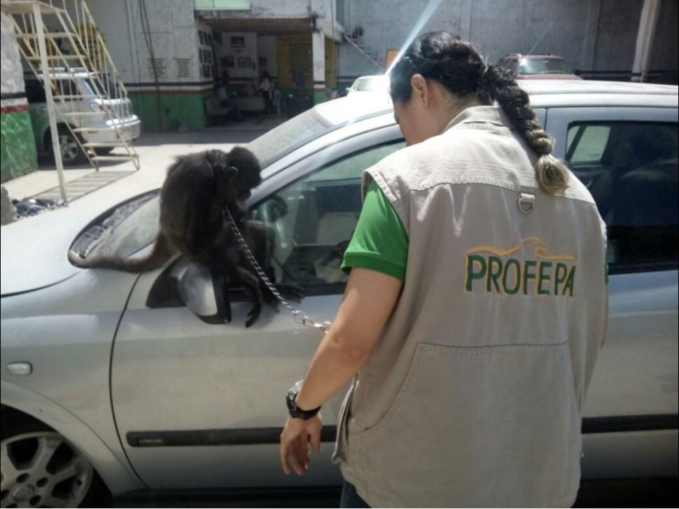 Ejemplar de mono araña asegurado en Jalisco; un cachorro de león africano también fue incautado (Twitter @PROFEPA_Mx)