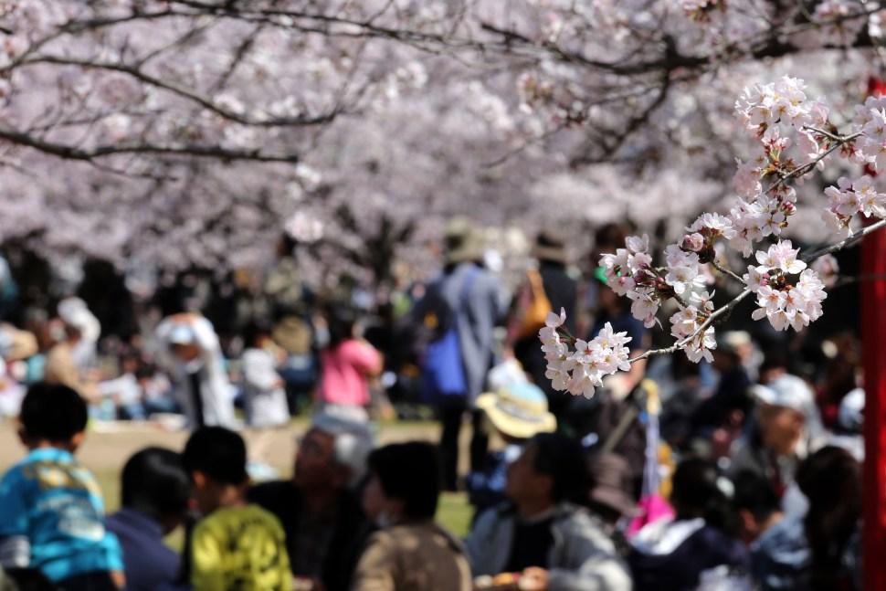 Flores de cerezo, ohanami, hanami, sakura, japón