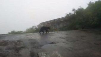 Un oso merodea la zona del teleférico del Cerro de la Silla, en Monterrey. (Noticieros Televisa)