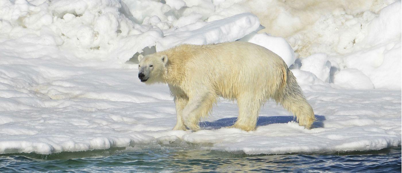 Oso polar, uno de los gigantes de Alaska. (AP, Archivo)