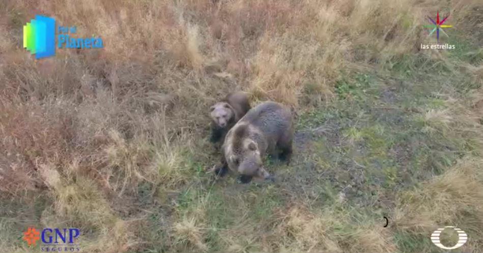 Osos de Alaska (Por el Planeta/Noticieros Televisa)