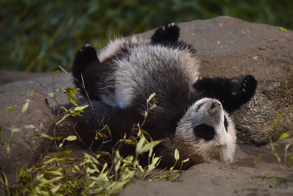 Panda que vive en zoológico de Madrid, España; en Asia, China creará un santuario para esa especie (Getty Images, archivo)