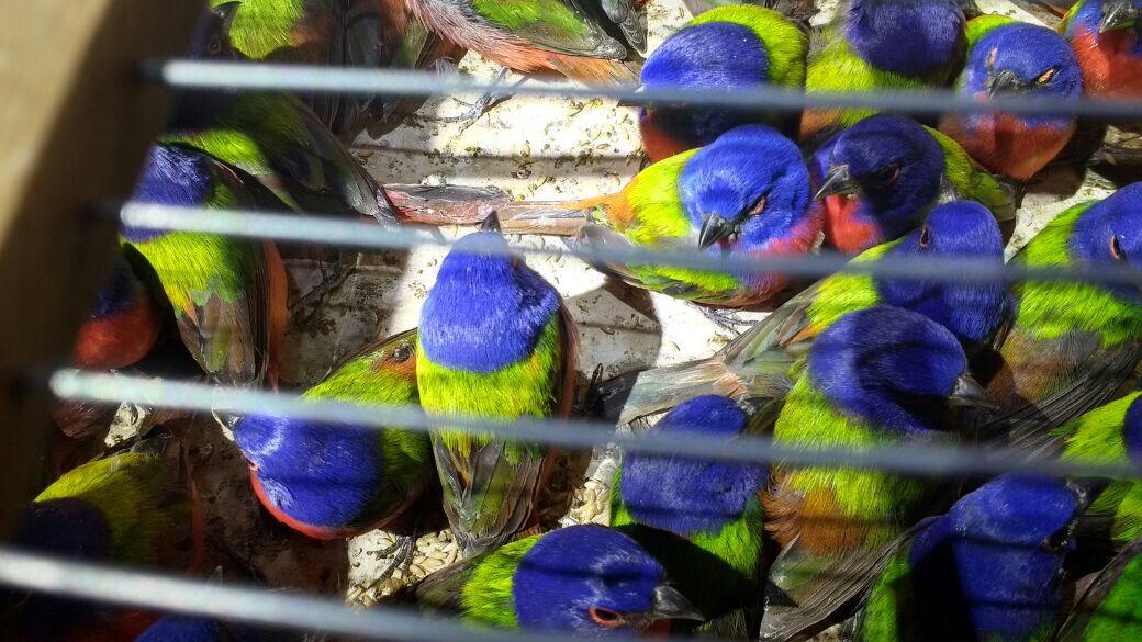 Profepa asegura 490 aves en Tepic. (Profepa)