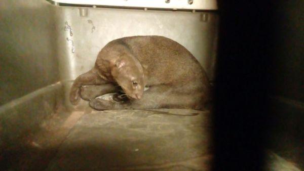 Profepa rescata a puma jaguarundí atropellado en carretera de Tabasco