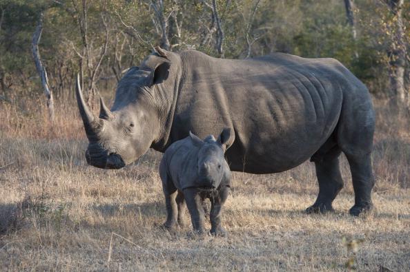 Rinoceronte hembra y su pequeño en el Parque Nacional Kruger, en Sudáfrica (Getty Images, archivo)