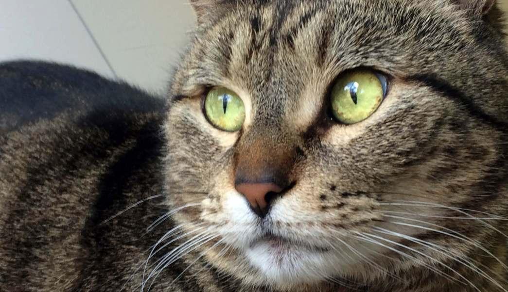Fotografía difundida por la sociedad protectora de Guelph muestra a la gata BooBoo en sus instalaciones en Ontario, Canadá. (AP)