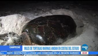 Tortugas marinas, Anidan, Costas, Playas, Campeche, Desovar