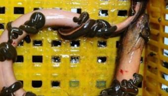 Asiáticos creen que las anguilas son un buen remedio casero para combatir el estreñimiento (Getty Images)