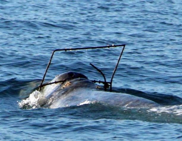 El Servicio Nacional de Pesca Marítima solicita que los navegantes informen de una ballena gris enredada con un objeto metálico enredado (AP)